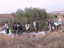 Israeli peace-activists work side-by-side with fearful Palestinians, during an olive harvest near the village of Hirbet Jabara, which is imprisoned between the Green Line and the Apartheid Wall.