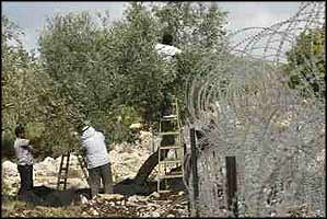 Men pick olives right next to a section of the apartheid wall that runs through their land, whilst avoiding being caught on rolls of barbed wire.
